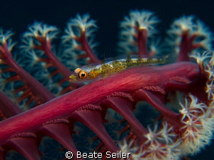 small blennie on a seapen by Beate Seiler 